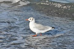 Seagull on shore Stock Images