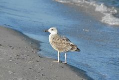 Seagull on shore Royalty Free Stock Photos