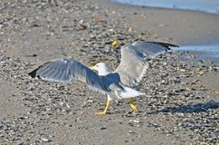 Seagull on shore Stock Photography