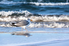 Seagull at the Shore Stock Images