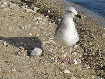 Seagull on the shore royalty free stock photos