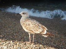 Seagull at the shore on pebble beach Stock Photography