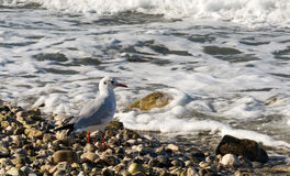 Seagull and a shore Stock Photo