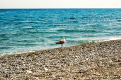 Seagull on shore Royalty Free Stock Images