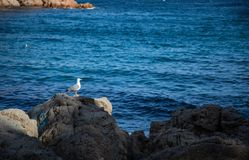 Seagull on shore rock at sunset royalty free stock images