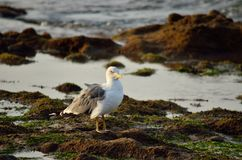 Seagull on the shore. Seagull on the rocks of the shore at low tide Stock Photo