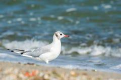 Seagull. Stock Photos