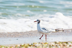 Seagull. Stock Photography