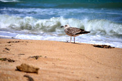 Seagull on the shore Royalty Free Stock Photography