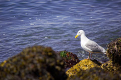 Seagull on shore Royalty Free Stock Photo
