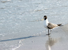 Seagull on the Shore. A seagull walking on the beach royalty free stock photography