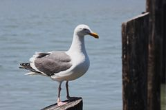 Seagull shot Stock Images