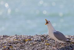 Seagull Shouting on the Rocky Beach in Normandy. Image of The European Herring Gull Larus argentatus screaming on a rocky beach in Normandy in Northern France Royalty Free Stock Photo