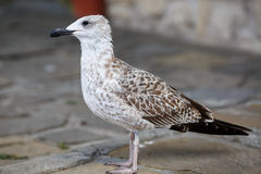 Seagull on the sidewalk Royalty Free Stock Image