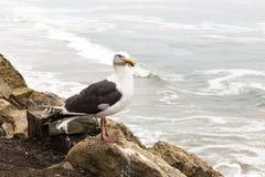 Seagull siedzi na skale i spojrzeniach przy Pacyficznym oceanem, Kalifornia, fotografia royalty free