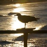 Seagull silhouette Stock Photos