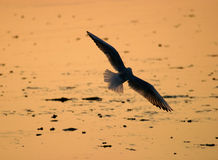 Seagull Silhouette. Backlit silhouette of a seagull taken at sunset stock image