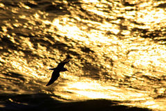 Seagull Silhouette against Golden Waves Stock Images