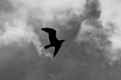 Seagull silhouette flying Royalty Free Stock Images