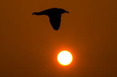 Seagull silhouette Royalty Free Stock Photo