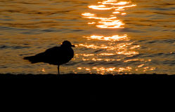 Seagull silhouette at sunset. Silhouette of a seagull standing at the ocean (sea) at sunset Stock Images