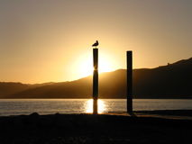 Seagull silhouetted on pole. Seagull on a pole silhouetted against the setting sun Stock Image