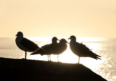 Seagull silhouettes Royalty Free Stock Photo
