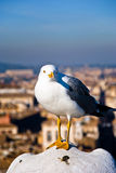 Seagull on the sill of the Victorian rome. Bird posing b to be photographed by me Royalty Free Stock Photo