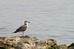 Seagull single Stock Image