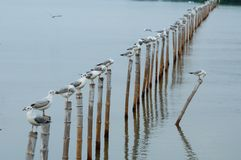 Seagull sit on bamboo Royalty Free Stock Image