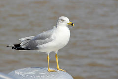 Seagull. Siting at the mooring in New Orleans Royalty Free Stock Photography