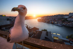 Seagull sits on the background of Douro river during sunset, Porto Stock Photo