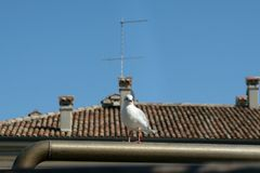 The seagull sits on a fence. On the background of a red tiled roof and a clear blue sky Royalty Free Stock Photos
