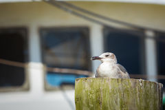 Seagull sits on a post in front of a ship Stock Image