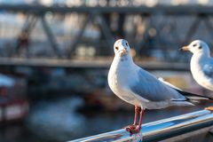 A seagull sits on a railing and looks into the camera royalty free stock photos
