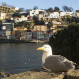 Seagull sits in Ribeira Old Town, Douro river, Porto Royalty Free Stock Photography
