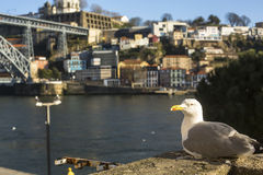 Seagull sits in Ribeira in , Porto, Portugal. Royalty Free Stock Photo