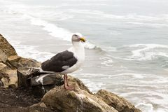Seagull sits on rock and looks at the Pacific Ocean, California, royalty free stock photography