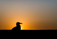 A seagull sits on the wall during sunset as silhouette picture Royalty Free Stock Photography