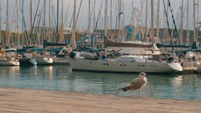 Seagull Sits on Wooden Pier at Port Vell of Barcelona Port. Closeup. Seagull against the backdrop of boats and yachts in Rambla del Mar stock video