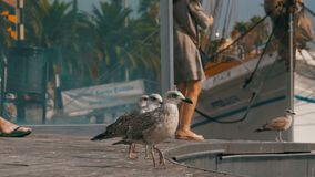 Seagull Sits on Wooden Pier at Port Vell of Barcelona Port. Closeup. Seagull against the backdrop of boats and yachts in Rambla del Mar stock footage