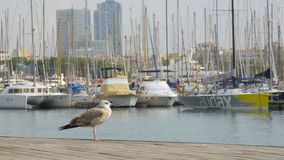 Seagull Sits on Wooden Pier Rambla del Mar of Barcelona Port. Closeup. Seagull against the backdrop of boats and yachts in Port Vell stock video