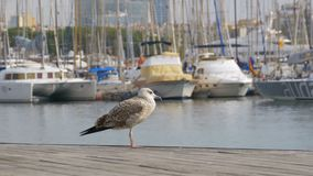 Seagull Sits on Wooden Pier Rambla del Mar of Barcelona Port. Closeup. Seagull against the backdrop of boats and yachts in Port Vell stock video footage