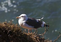 Seagull sittging close up. Royalty Free Stock Photo