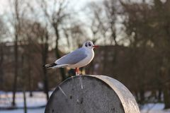 Seagull sitting on a barrel in Copenhagen, Denmark stock photography
