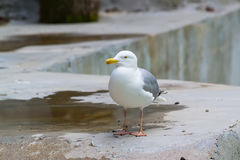 Seagull. Sitting on the beach Stock Photos