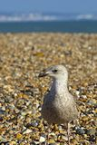 Seagull sitting on the beach in Worthing, UK Royalty Free Stock Image