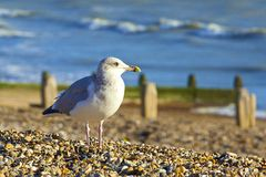 Seagull sitting on the beach in Worthing, UK Royalty Free Stock Images