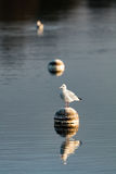 Seagull sitting on a buoy. Another buoy and a seagull in the background in early morning Stock Photography