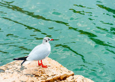The Seagull Stock Photography